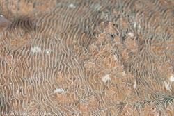 BD-111127-Raja-Ampat-5331-Pachyseris-rugosa-(Lamarck.-1801)-[Serpent-coral].jpg